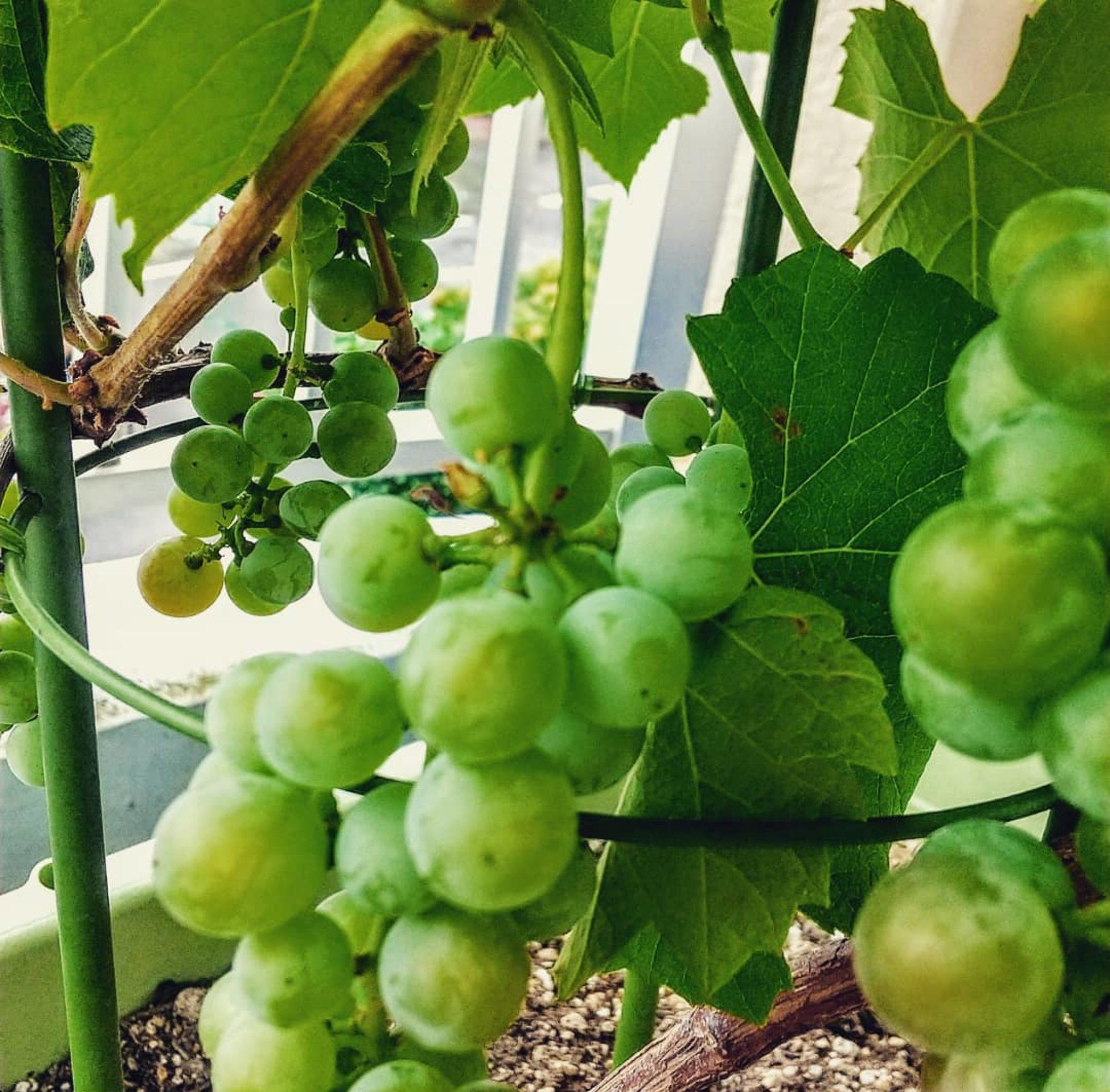 La Petite Vigne 〜小さなワインのお話〜